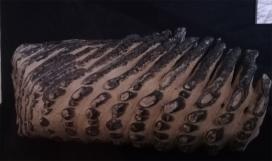 Mamutfog a körmendi múzeumban