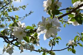 Virágzó gyümölcsfaágak
