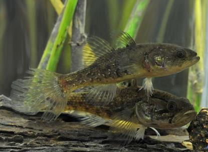 Amurgébek akváriumi környezetben
