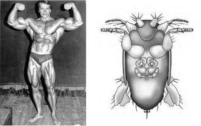Arnie és a Megapropodiphora arnoldi hasoldaláról készült rajz