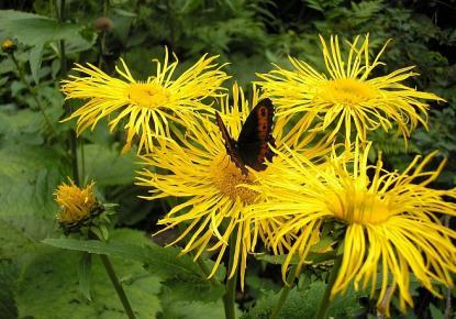 Kis-Retyezát, Teleki virág