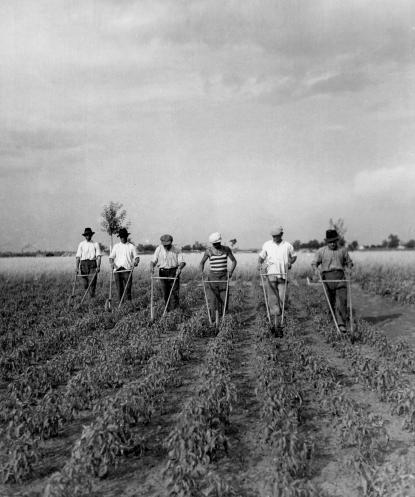 Az 1960-as években a paprika útját (hosszában) ekekapával művelték, míg közeit (keresztben) továbbra is kézikapával tartották rendben.