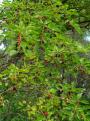 Fehér eperfa sötét színű terméssel