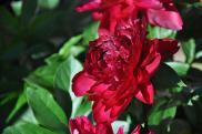 Virágzó pünkösdi rózsa