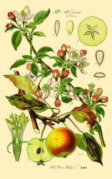 Almafa és virága