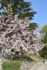 a kőtár magnólia fája