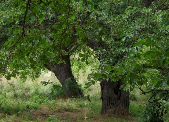 Öreg pécsi eperfák